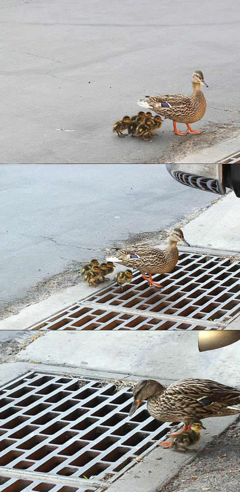 jpeg: baby ducks fall through grate
